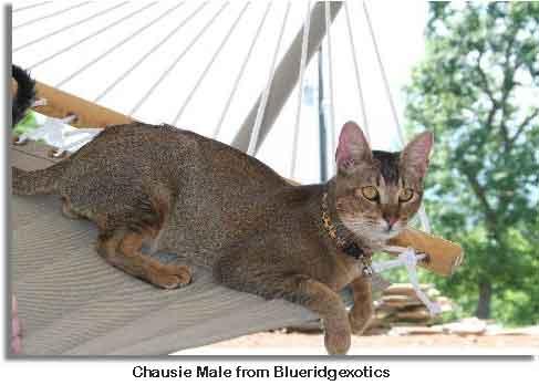 chausie-cat.jpg